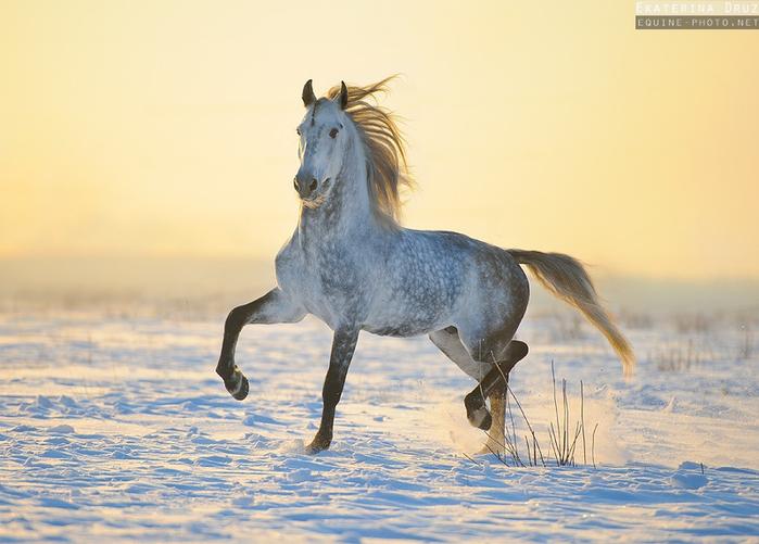 орловская рысистая порода лошадей фото