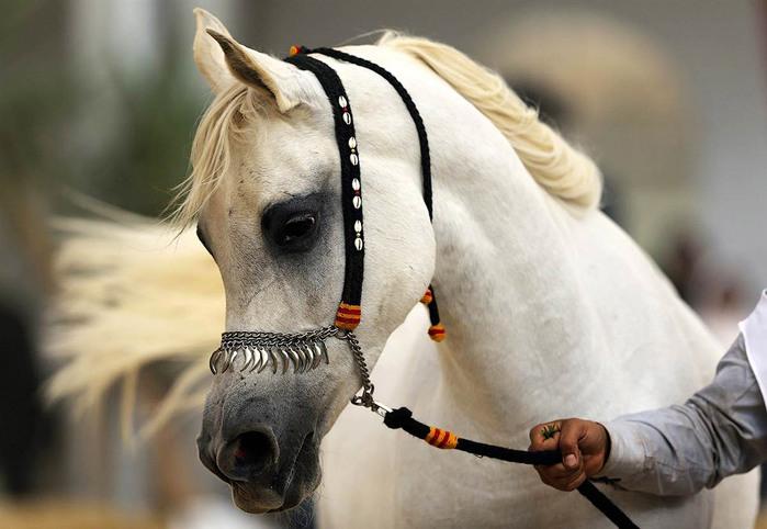 арабская лошадь5 (699x482, 224Kb)