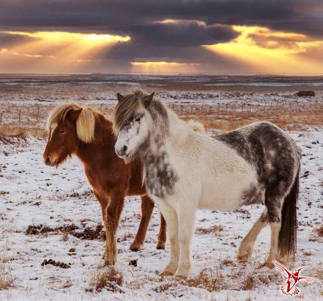 исландская лошадь (640x596, 283Kb)
