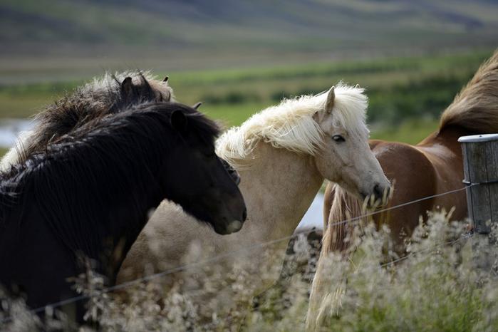 исландская лошадь4 (700x466, 264Kb)
