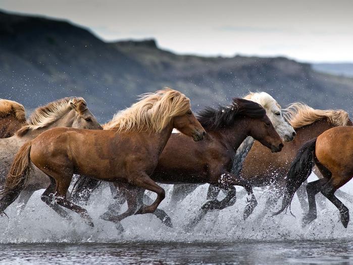 исландская лошадь6 (700x524, 338Kb)