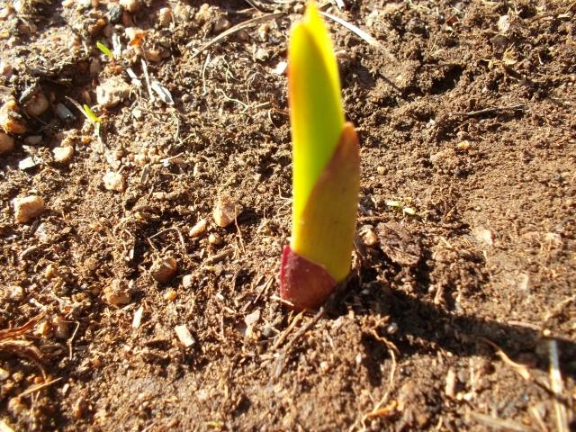 Можно ли гладиолусы сажать семенами 95