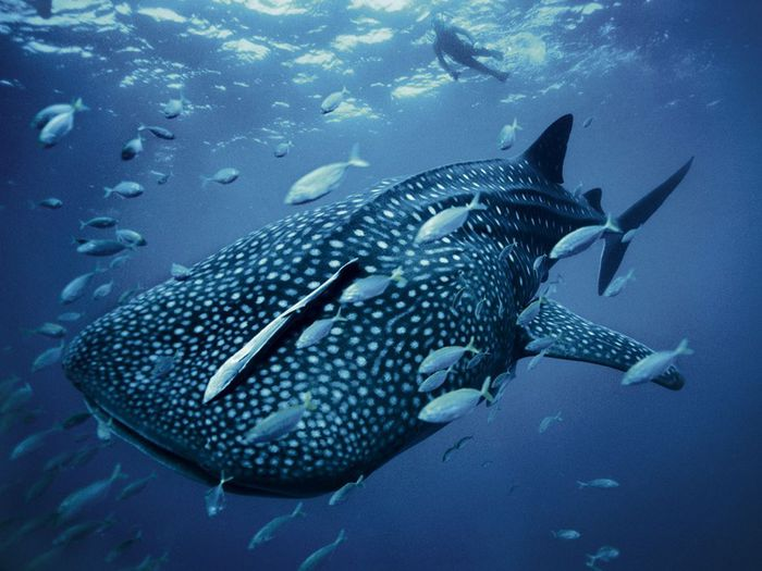 4555414_whalesharkskerry_28399_990x742 (700x525, 60Kb)