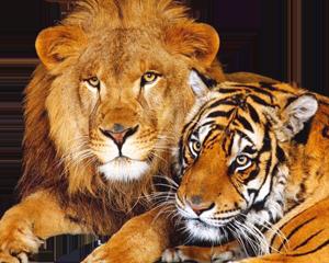 klipart-tigry-i-drugie-dikie-koshki16 (300x240, 157Kb)