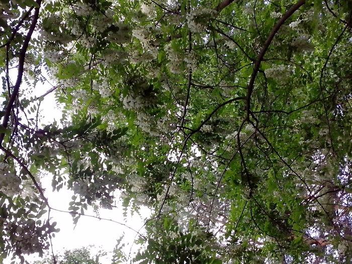 В Ессентуках акация цветет (700x525, 531Kb)