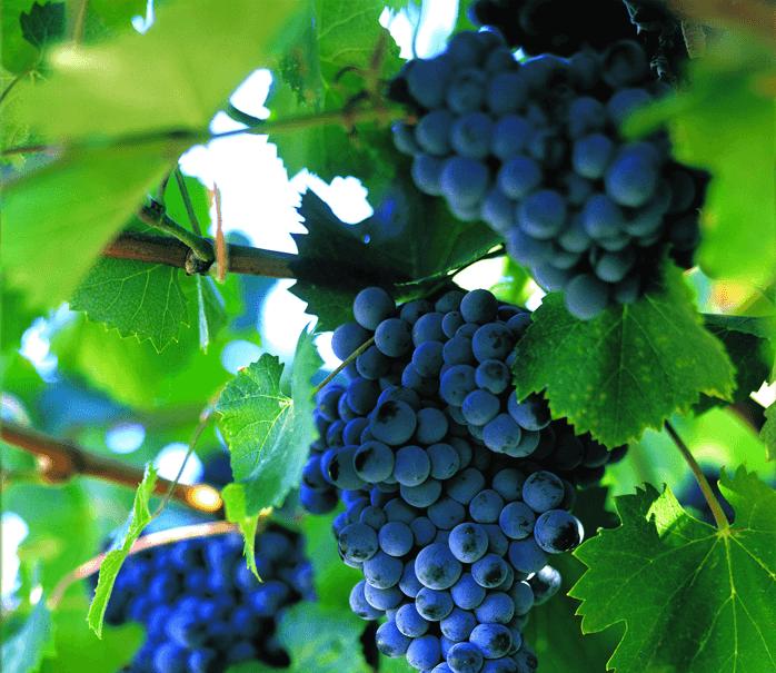 виноград2 (698x605, 195Kb)