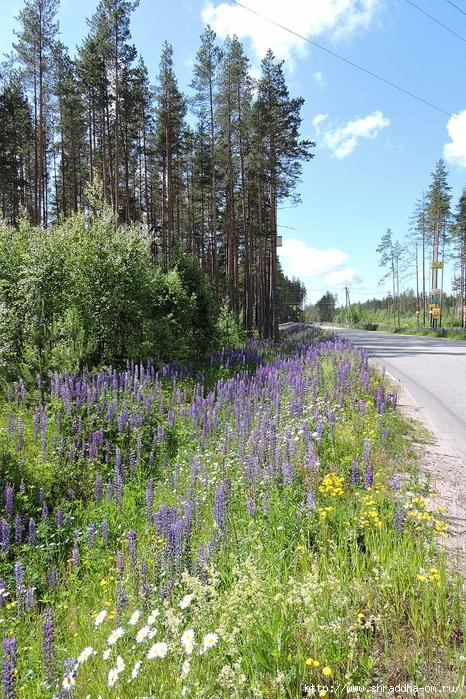 июль, Ленинградская область (6) (466x700, 438Kb)