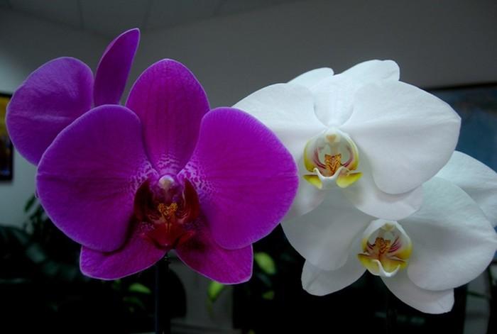 Орхидея. Необыкновенный и прекрасный каприз природы