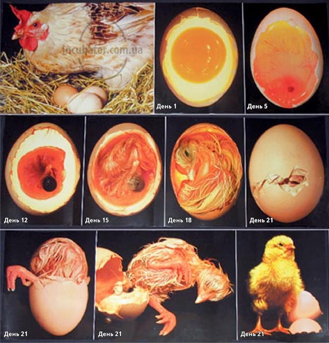 Как развивается яйцо?