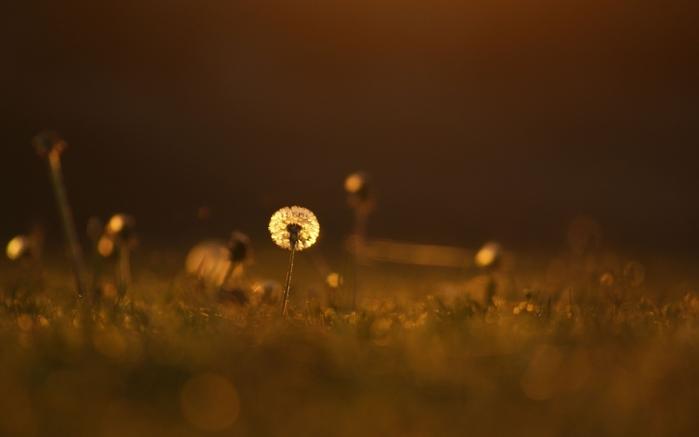 3813439_light_color_grass_dandelion_meadow_close_up_grass_flower_mood_bokeh_2560x1600 (700x437, 119Kb)