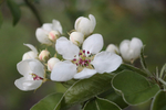 Превью apple_blossom_by_papierowyszczur-db5s76y (700x466, 247Kb)