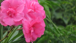 Превью beautiful_oleander_trio_by_bgai-db1909v (700x393, 263Kb)