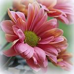 Превью chrysanthemum_2_by_svitakovaeva-d9ilf75 (700x700, 518Kb)