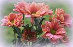 Превью chrysanthemums_by_svitakovaeva-d9ilel1 (700x455, 359Kb)