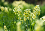 Превью cowslips_by_enaruna-db9qj58 (700x485, 408Kb)