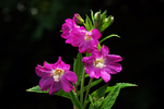 Превью great_willowherb_by_earthhart-da8i4vq (700x468, 307Kb)