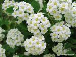 Превью white_flowers_by_blackcatartda-dbbs4uu (700x525, 394Kb)