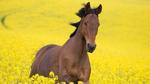 Превью horse_field_flowers_jump_95568_300x168 (300x168, 49Kb)