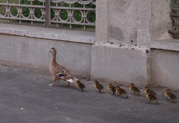 Утиная семья на городской улице