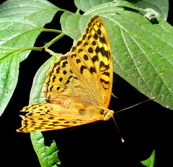 Бабочка перламутровка/683232_babochka700 (700x675, 409Kb)