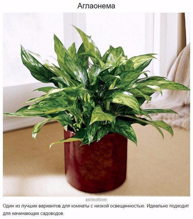 9 домашних растений для темных углов2 (617x700, 402Kb)