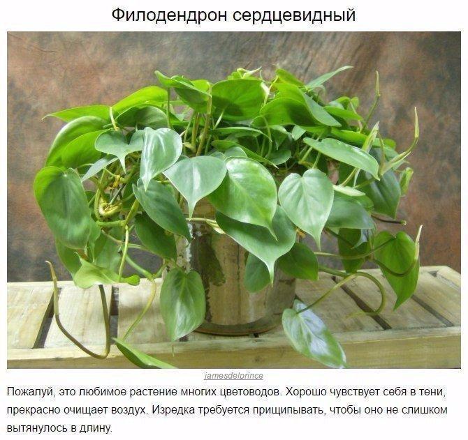 9 домашних растений для темных углов6 (670x631, 380Kb)