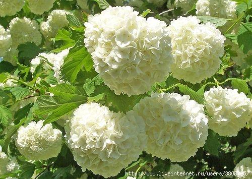 bf5b5f488eca9f5b691e18faf238dbe9--snowball-viburnum-moon-garden (500x355, 153Kb)
