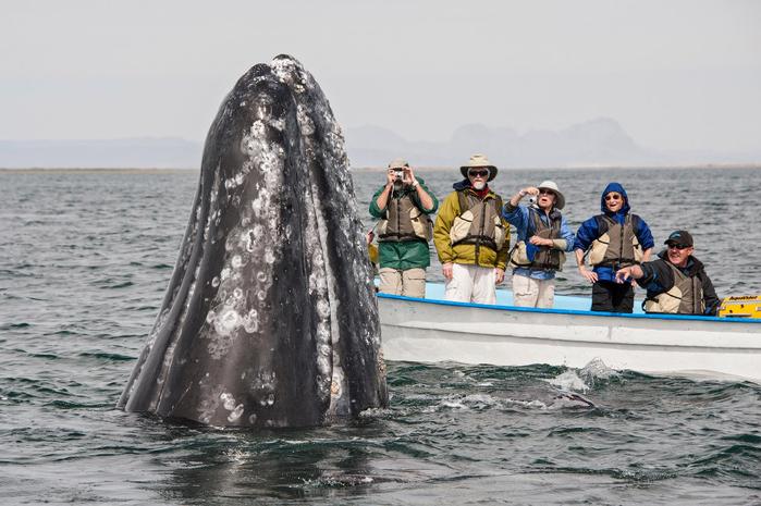 серый кит фото 1 (700x465, 323Kb)
