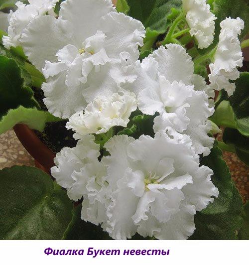 Fialka-Buket-nevesty (500x532, 203Kb)