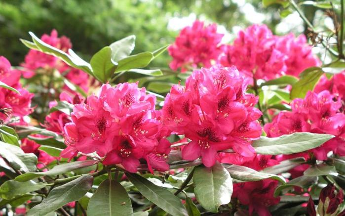 6226556_1arhododendron267159blpmsg (700x437, 59Kb)