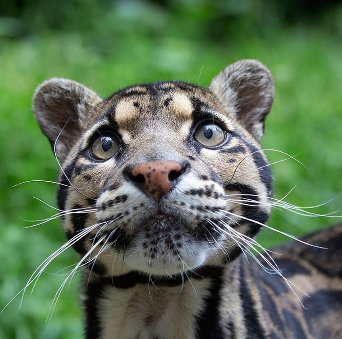 дымчатый леопард (700x694, 444Kb)