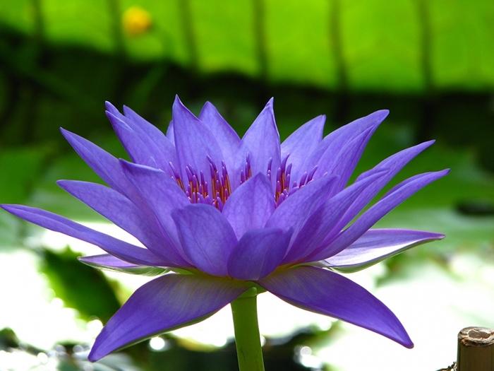 2714816_Lotus_flower_Closeup_435652 (700x525, 235Kb)