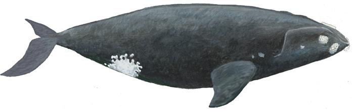 10 самых крупных китов в мире