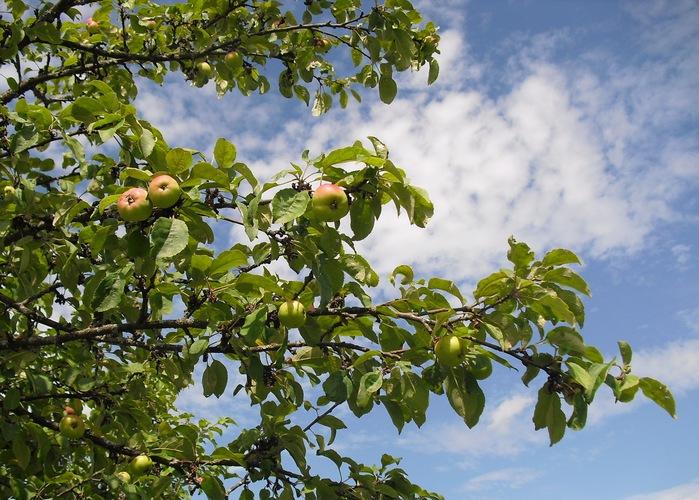 1 Яблоки (700x500, 159Kb)