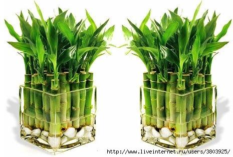 bamboo (465x315, 110Kb)