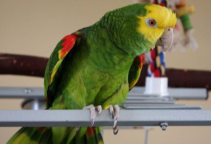 Топ-10 самых больших в мире попугаев