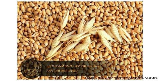 зерна и колос овса (552x281, 141Kb)
