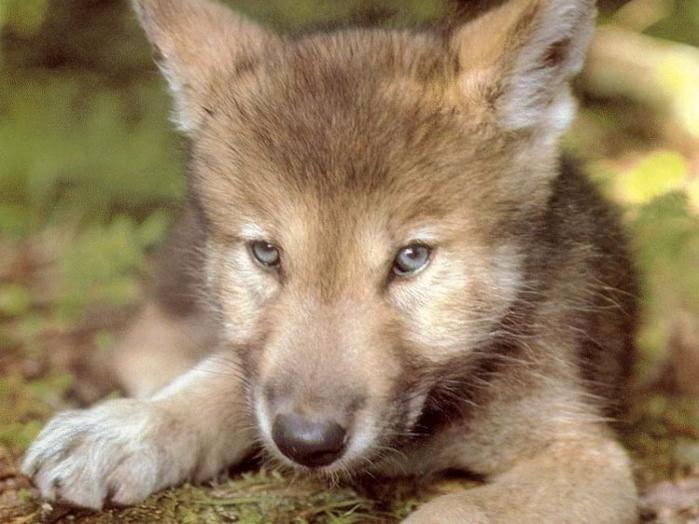 wolf140-e1319616797892 (700x524, 350Kb)