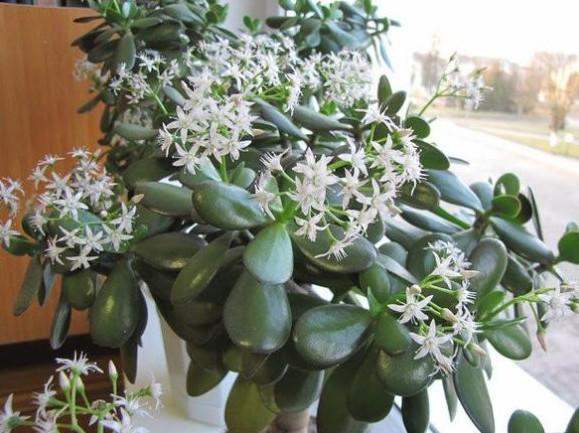 Поливка комнатных цветов раствором на дрожжах