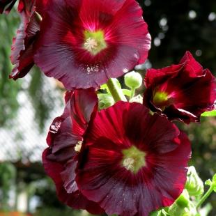 thumbs_05alcea-rosea (310x310, 128Kb)