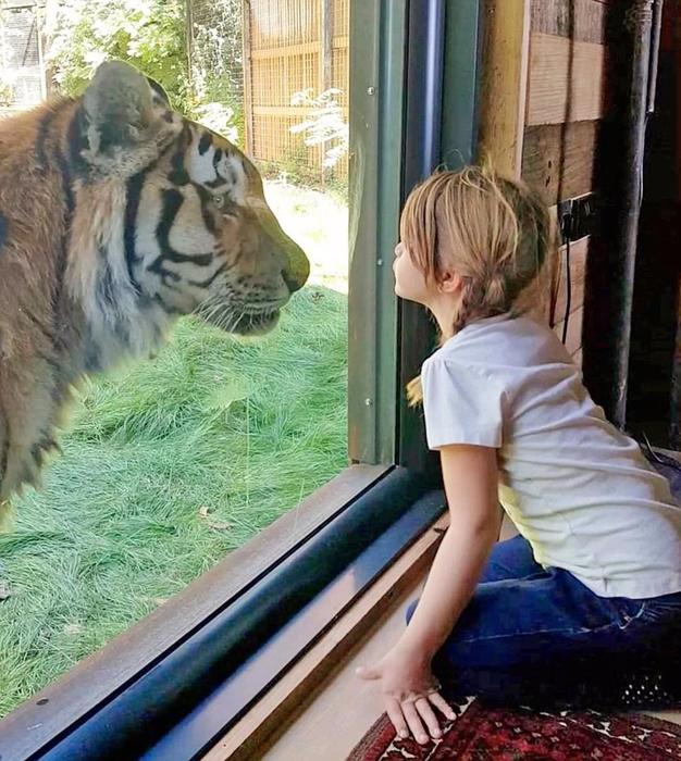 отель с тиграми в сафари парке кент 2 (626x700, 483Kb)