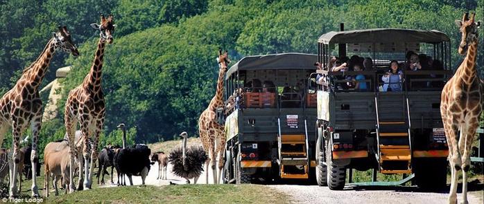 отель с тиграми в сафари парке кент 6 (700x295, 289Kb)