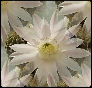 Цветок-кактуса-бш.-пр (300x286, 155Kb)