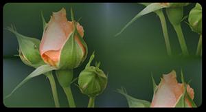 Tatiana5-Перед-цветением-пр (300x163, 68Kb)