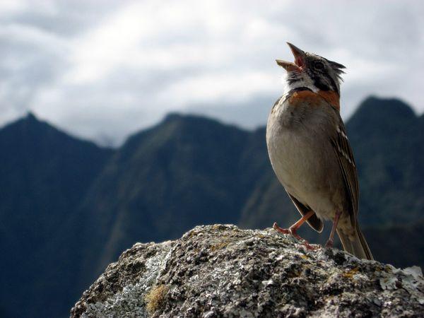 Почему птицы поют песни?
