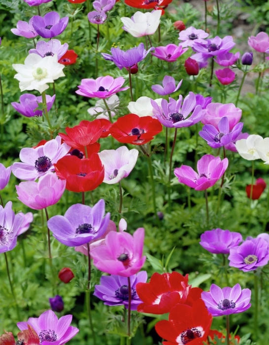 3085196_content_anemone_in_your_garden2 (546x700, 314Kb)