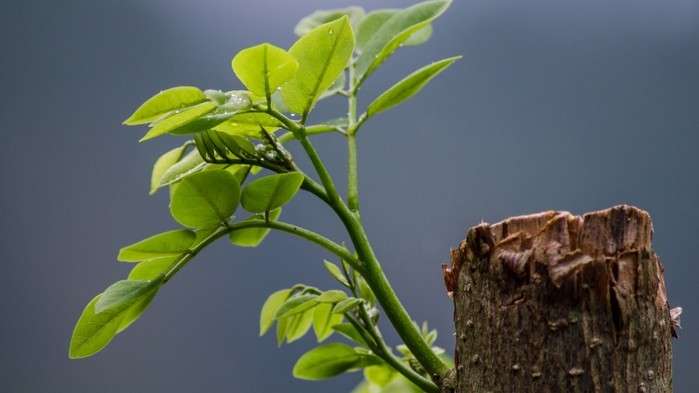 www.GetBg.net_Nature___Plants_Green_sprout_on_the_stump_of_the_trunk_097556_ (700x393, 48Kb)