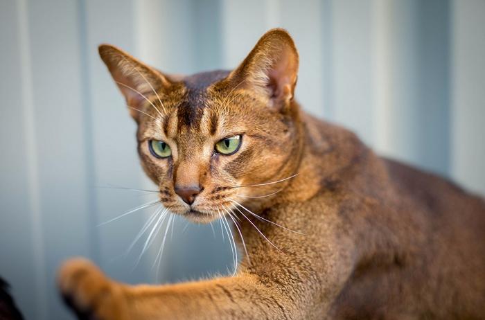 13-Любопытная абиссинская кошка (700x462, 251Kb)