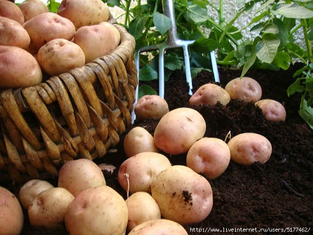 5177462_content_seed_potatoes (640x480, 178Kb)