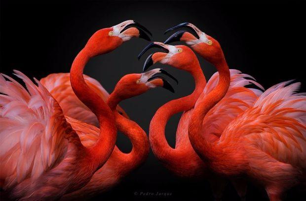 flamingo_7-620x407 (620x407, 184Kb)
